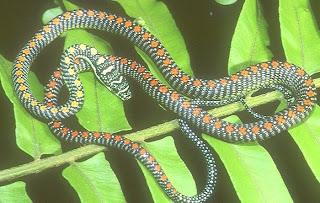 ... Tree Snake, Ornate Flying Snake, Golden Flying Snak