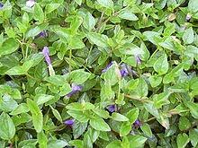 Torenia-Asiatica