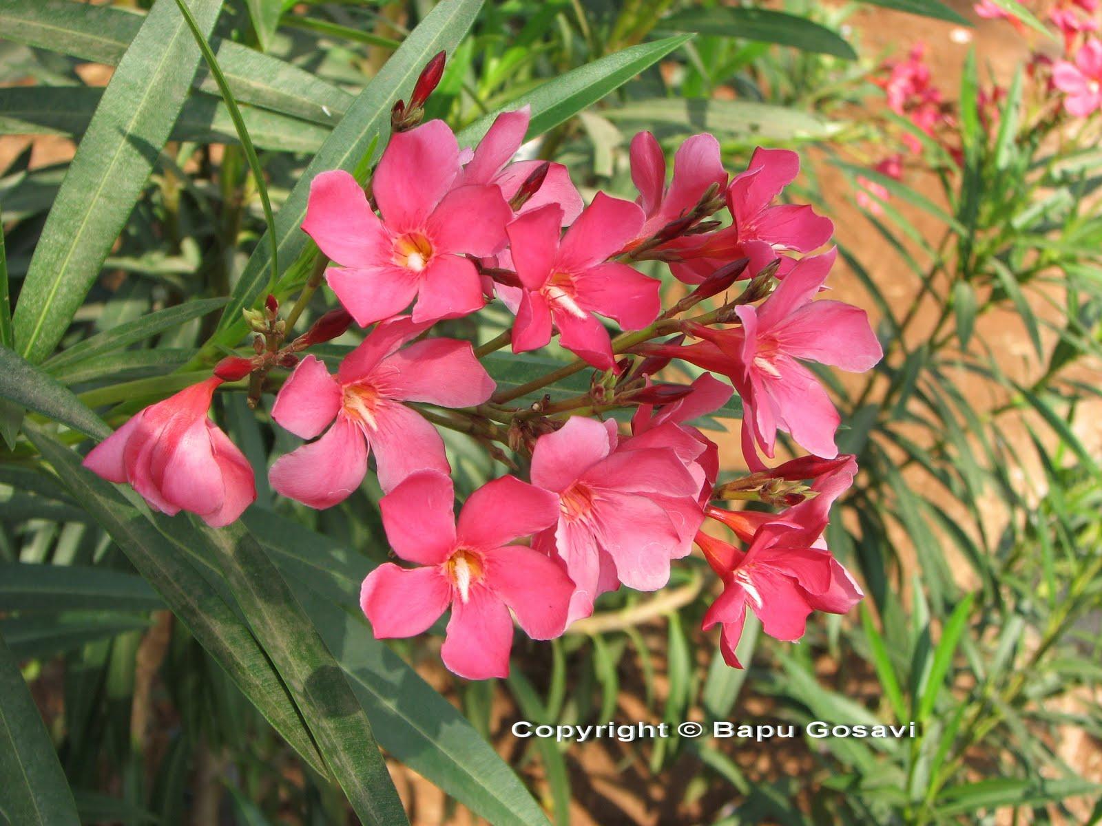 nerium oleander flowering plants and pictures. Black Bedroom Furniture Sets. Home Design Ideas