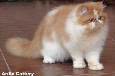 Mithril. Kucing Persia jantan asal New Zealand, peraih runner up kelas ...