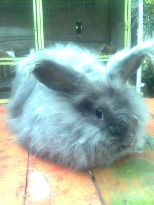 angora kelinci