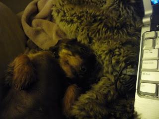 miniature wire haired dachshund