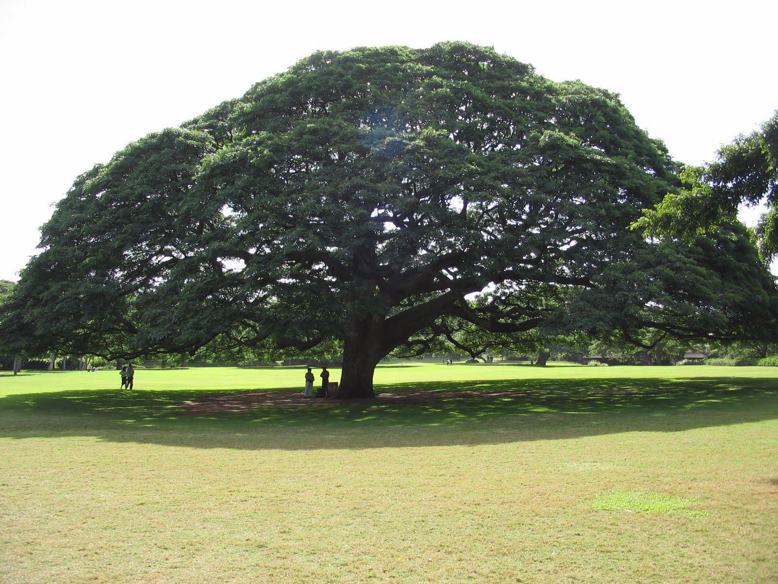 Adea amici degli alberi for Chioma albero