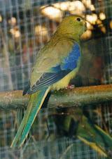 Periquito Ala Azul