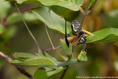 Africa Unlocked - Private Guided Safaris: Praying Mantis ...