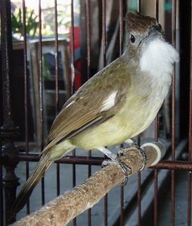 Burung Ocehan dan Sangkar Ukir: Burung Cucak Jenggot