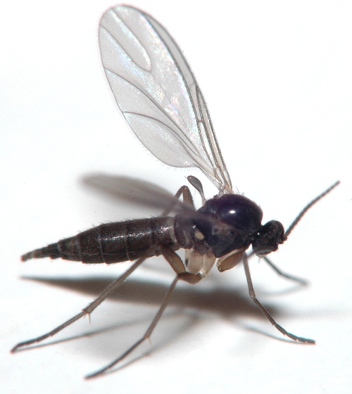Steps for stopping fungus gnats in their tracks