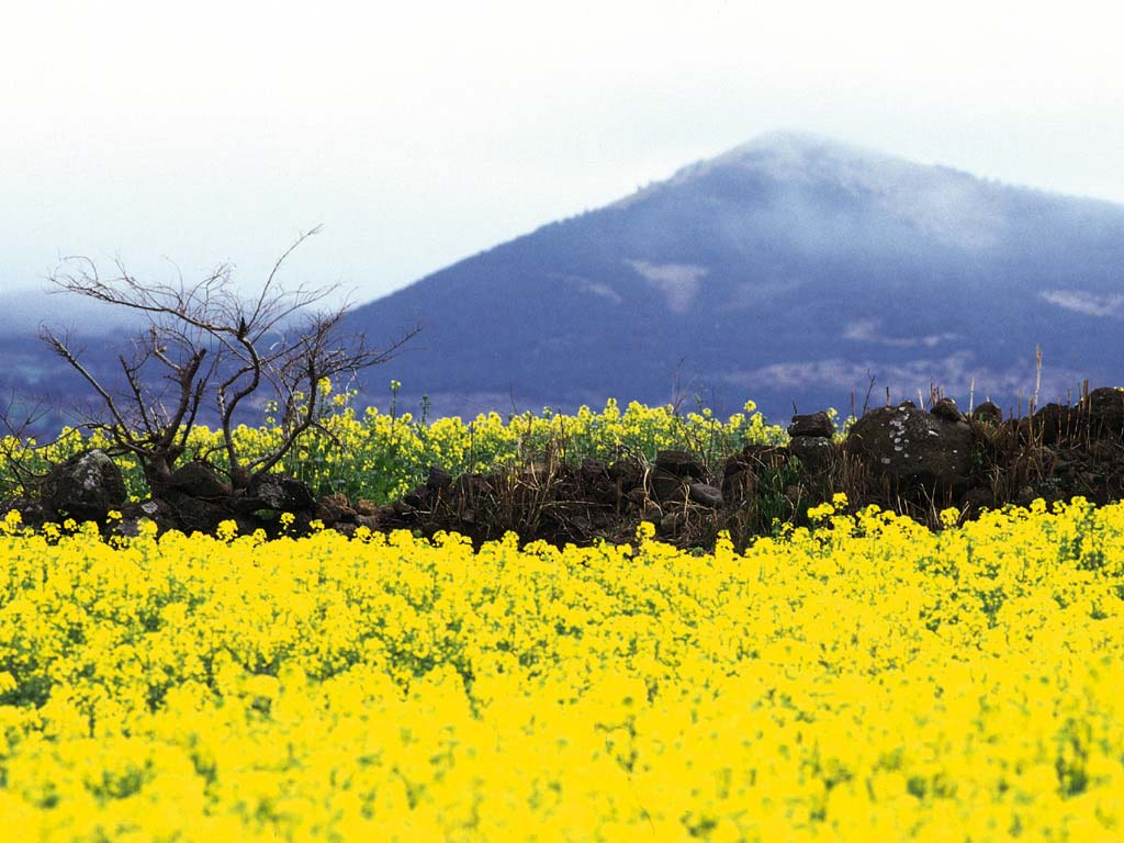 Plants: Yellow rape flowers in Jeju Island