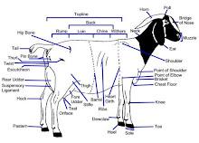 Anatomi Kambing Boer