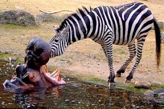 الحمار الوحشى ينظف اسنان فرس النهر