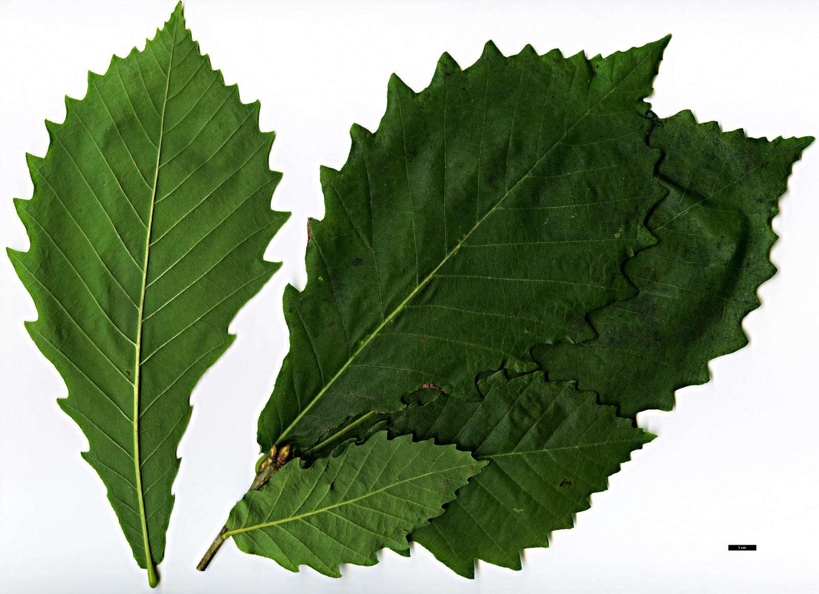 Whisky science: oak species