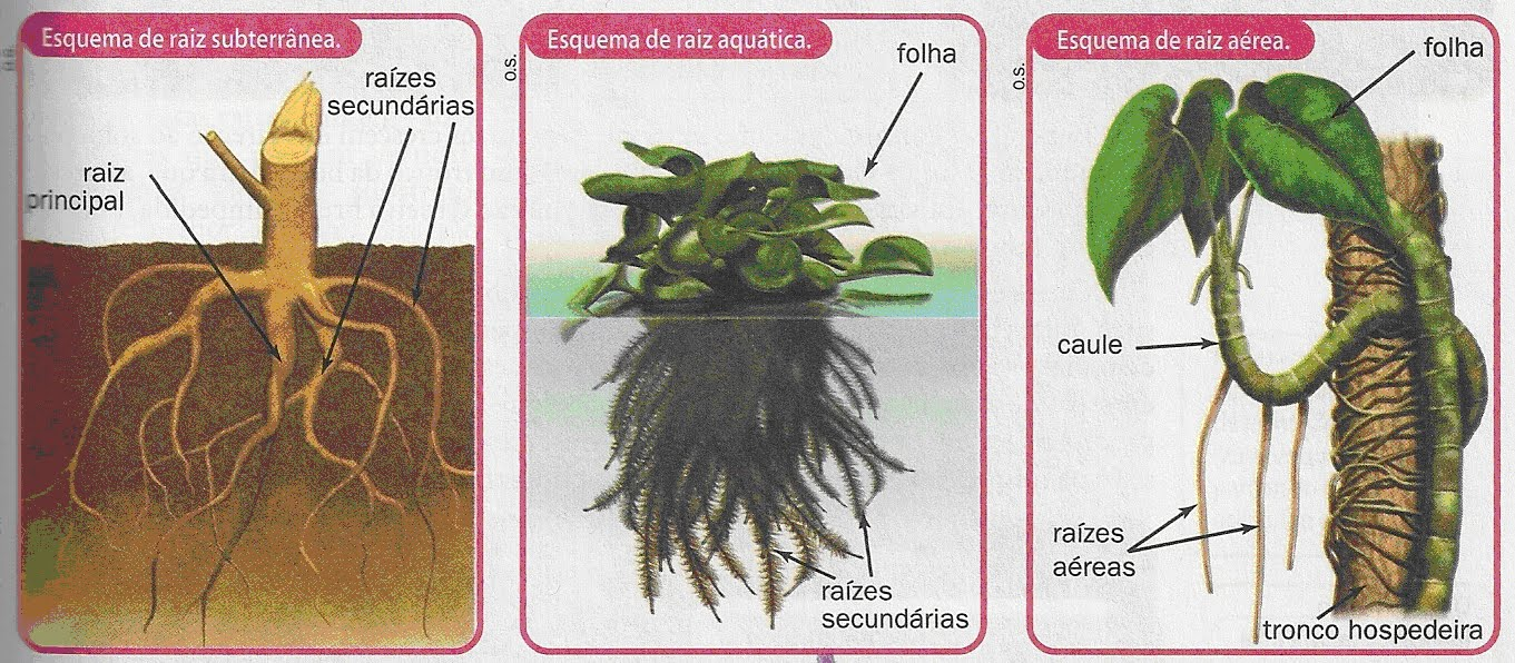 raízes seja subterrânea existem as raízes aquáticas e as aéreas