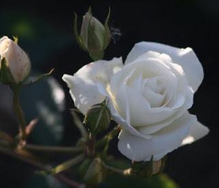 Rose blanche de Corfou