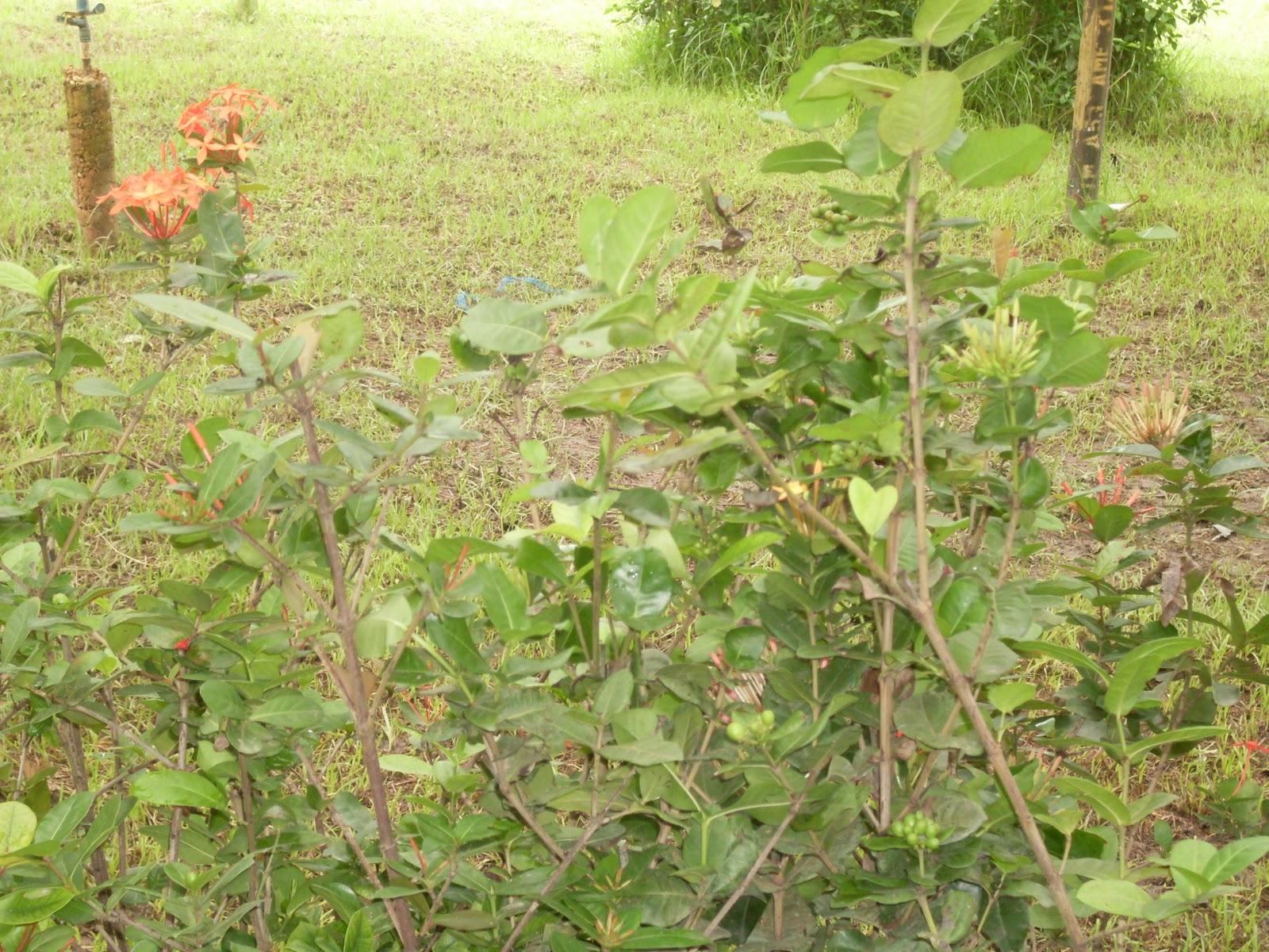 Plantas ornamentales 2015 personal blog for Caracteristicas de las plantas ornamentales