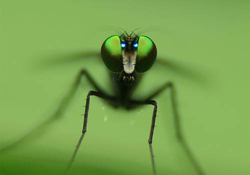 Mosquito by nick kulas Macro Photography