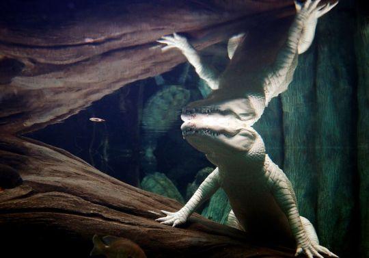 Albino Alligator by Jak Wonderly