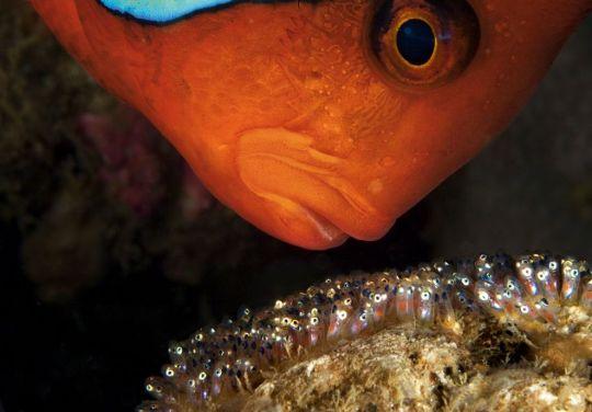 Tomato Clownfish by David Doubilet