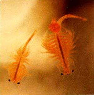 Alimento vivo en el acuarismo for Artemia para peces