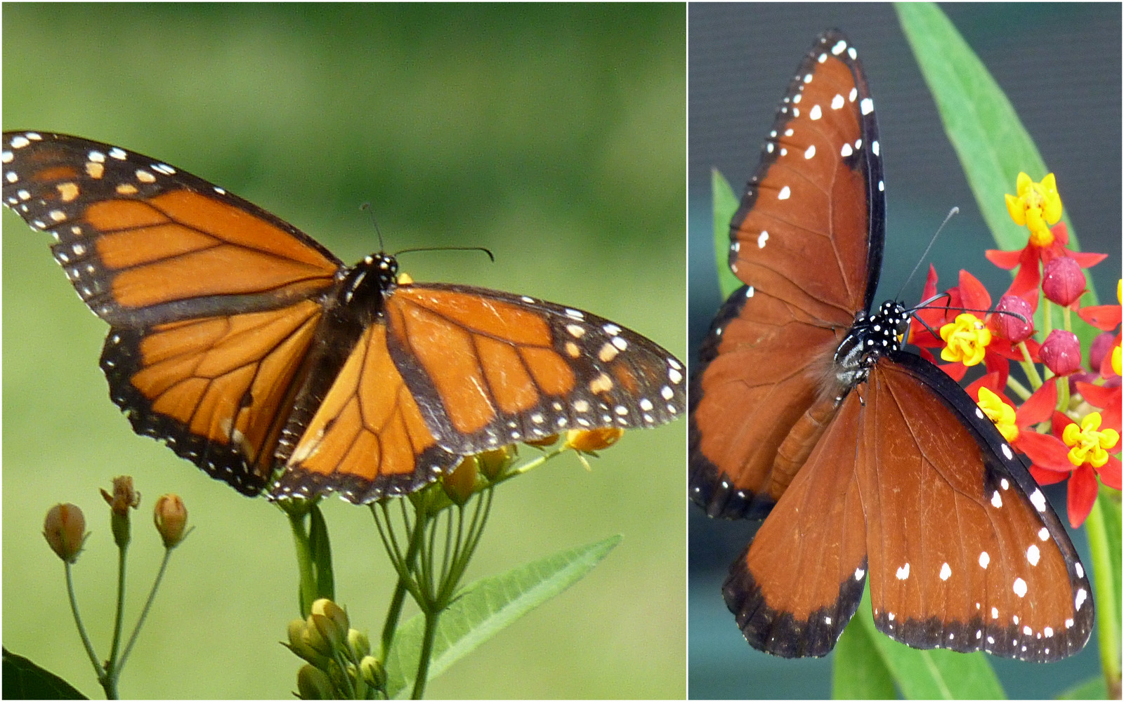 Monarchs, Queens, and ...