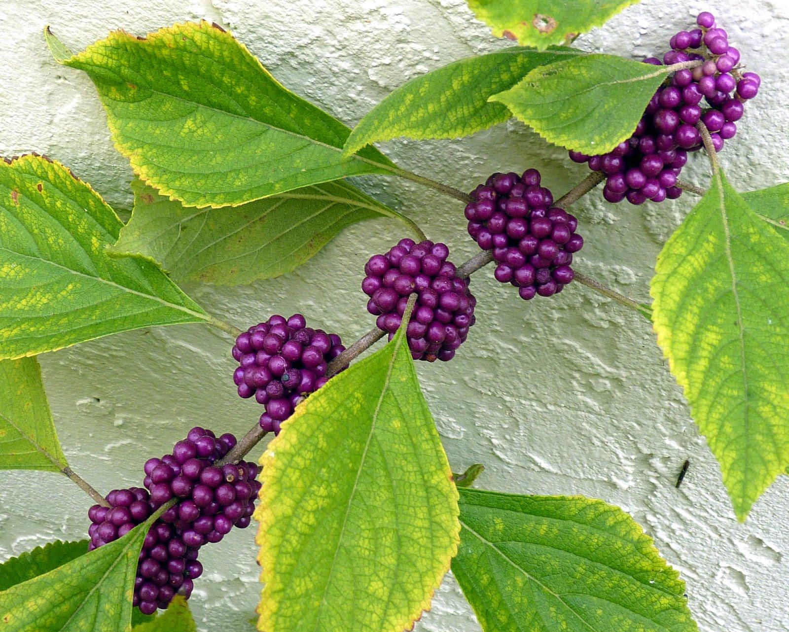 Bush With Purple Berries