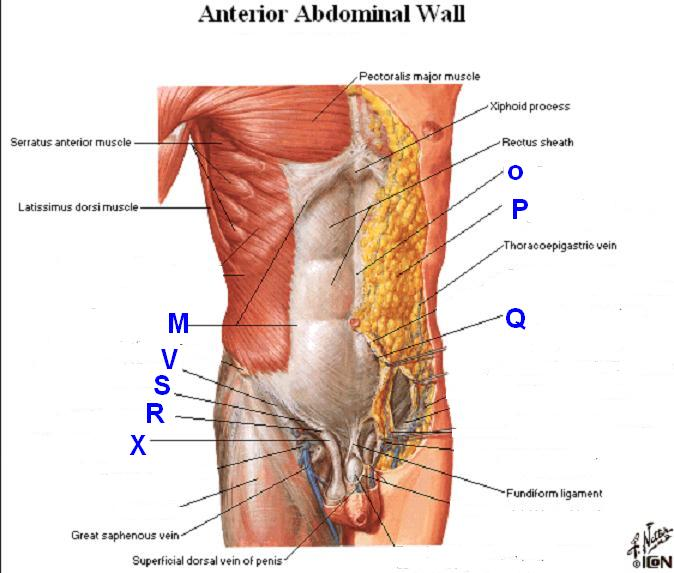 Dr Nilesh Anatomy Structures In Anterior Abdominal Wall