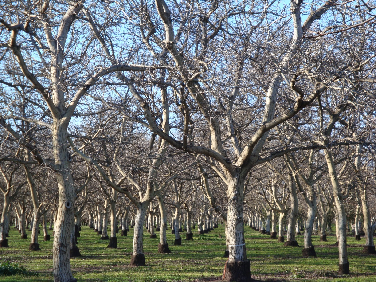 Black Walnut Trees Without Leaves 8