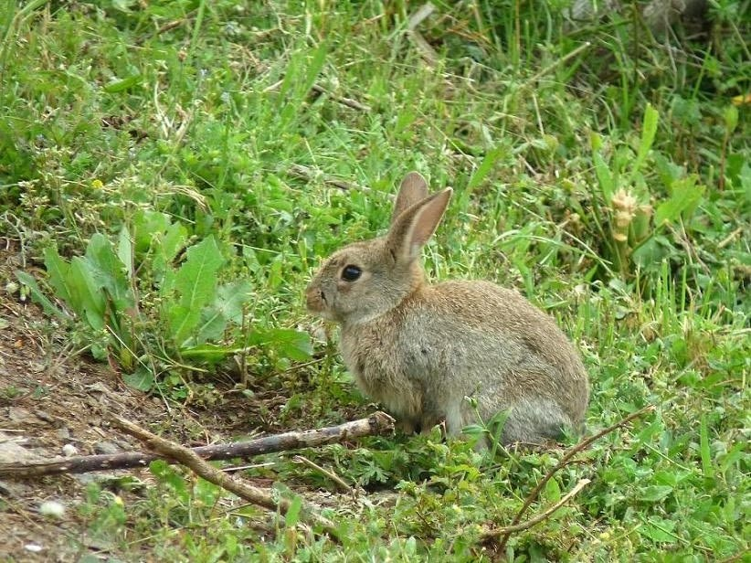 Faune du sud est lapin de garenne - Cuisiner un lapin de garenne ...
