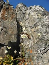 Paredes Rocosas, habitat de la Begonia
