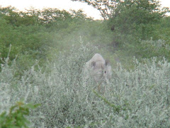 White Rhino in Bushes