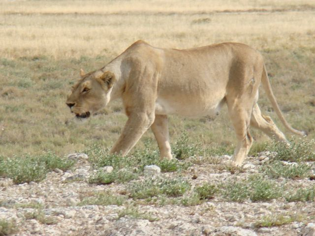 Male lion stalking prey - photo#18