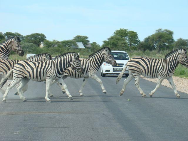 Zebras X-ing
