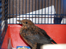 Adult Blackbird
