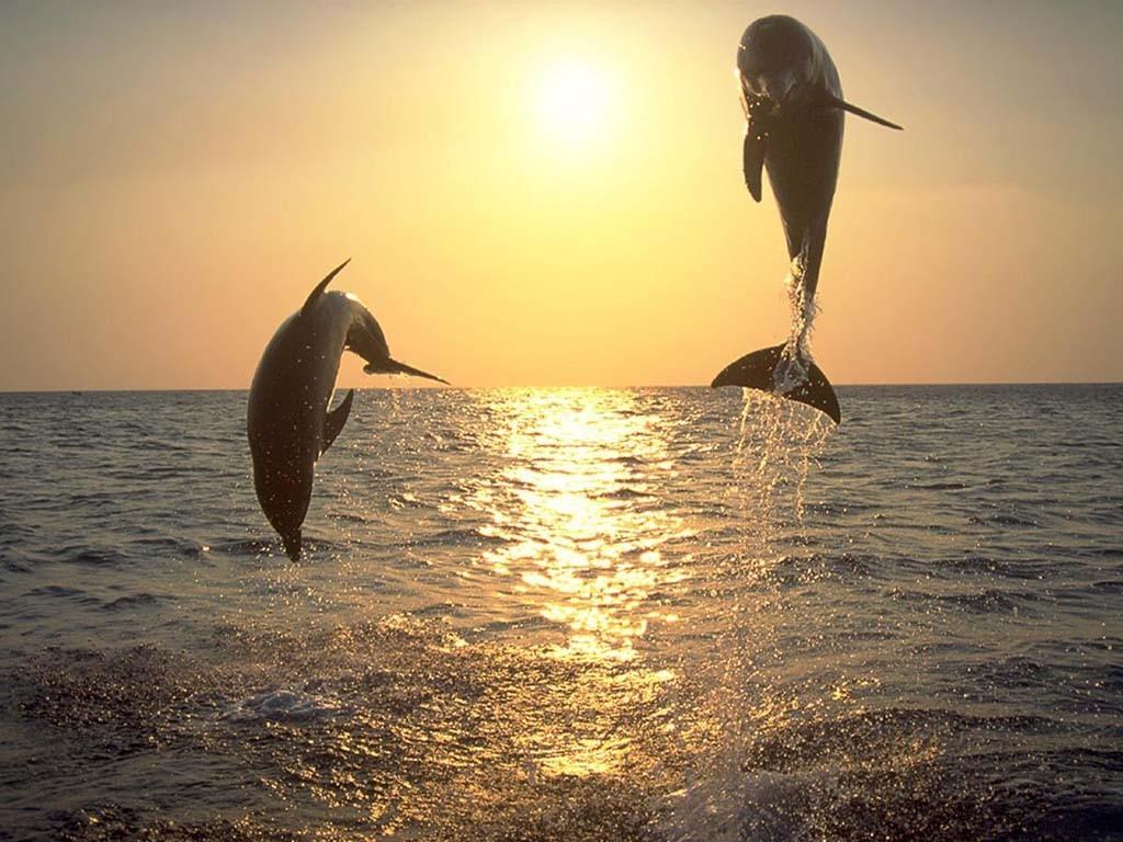 Gambar lumba-lumba sedang atraksi
