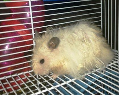 ispinde hamster hus