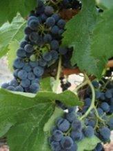 Raisins, California, USA