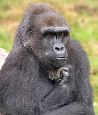 Le gorille de Rodin