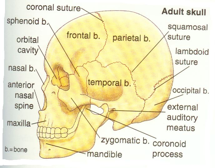 the subtle movement between the bones of the skull in response to the