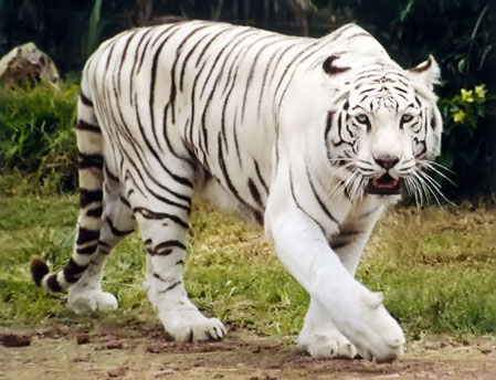 Dibujos de animales en peligro de extinción