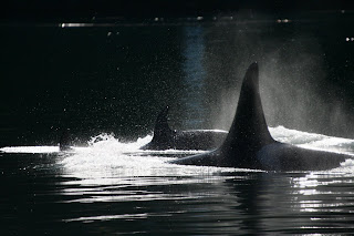 Kayaking in the Realm of the Orca