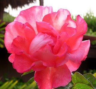 [cindy+lisa's+rose]