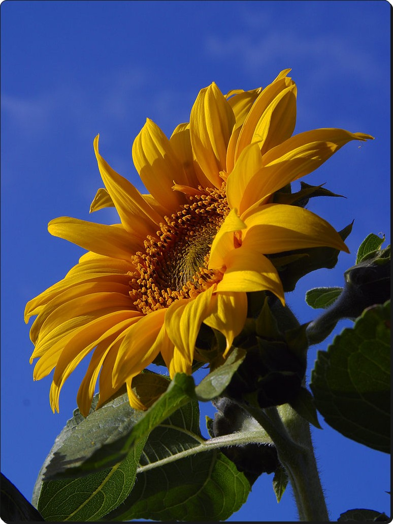 Rosesana 39 S Sunflower The Mongolian Giant Sunflowers