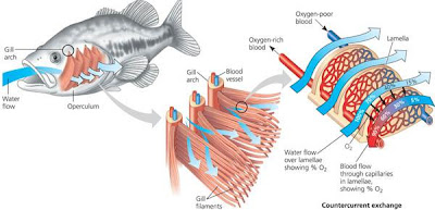 Rozaini othman guru cemerlang biologi the structure and for Arches related to breathing gills in fish
