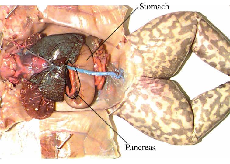 frog digestive system diagram labeled. frog digestive system diagram