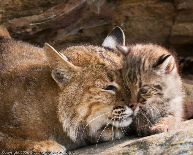 Cute baby bobcat - photo#8