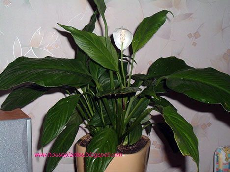 Attractive house plants 2015 common house plants - House plants names and pictures ...