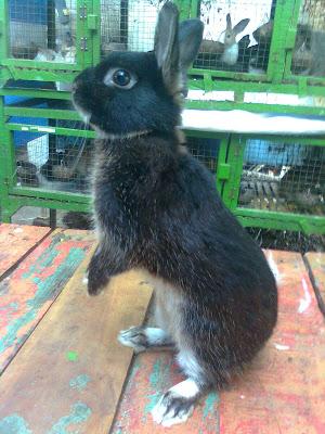 kelinci Neteherland Dwarf