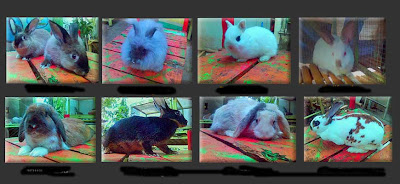 ras kelinci