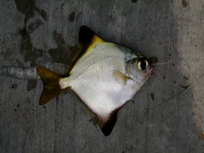 Silver Moony Caught At Woodland Jetty Fishing Hotspots was created to share with those who are interested in fishing on tips and type of fishes caught around Woodland Jetty Fishing Hotspots.
