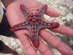 Sjøstjerne