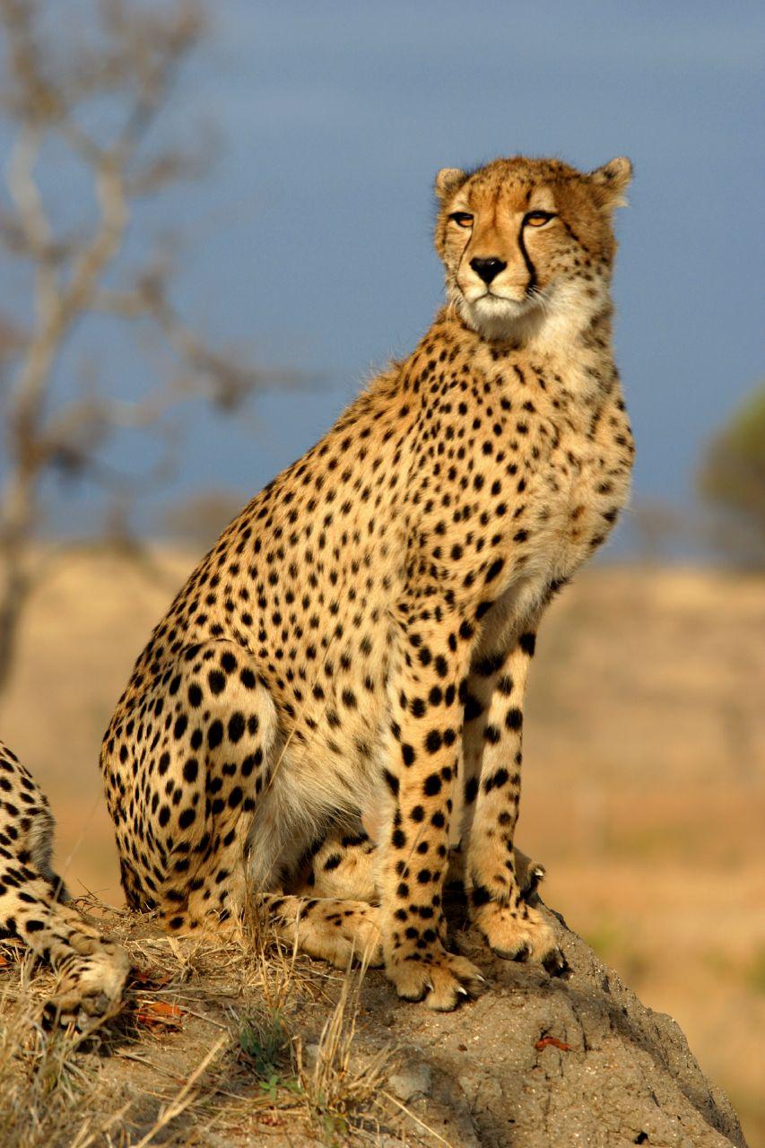 cats+-+cheetah.jpg